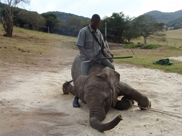 Breaking young elephants into submission in South Africa