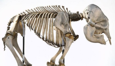 elephant-skeleton