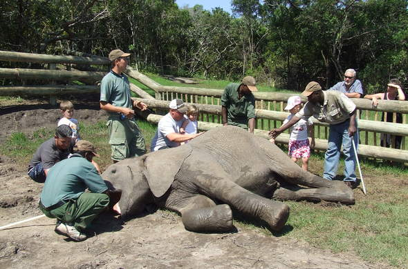 Elephant hands-on interaction at Inkwenkwezi Private Game Reserve