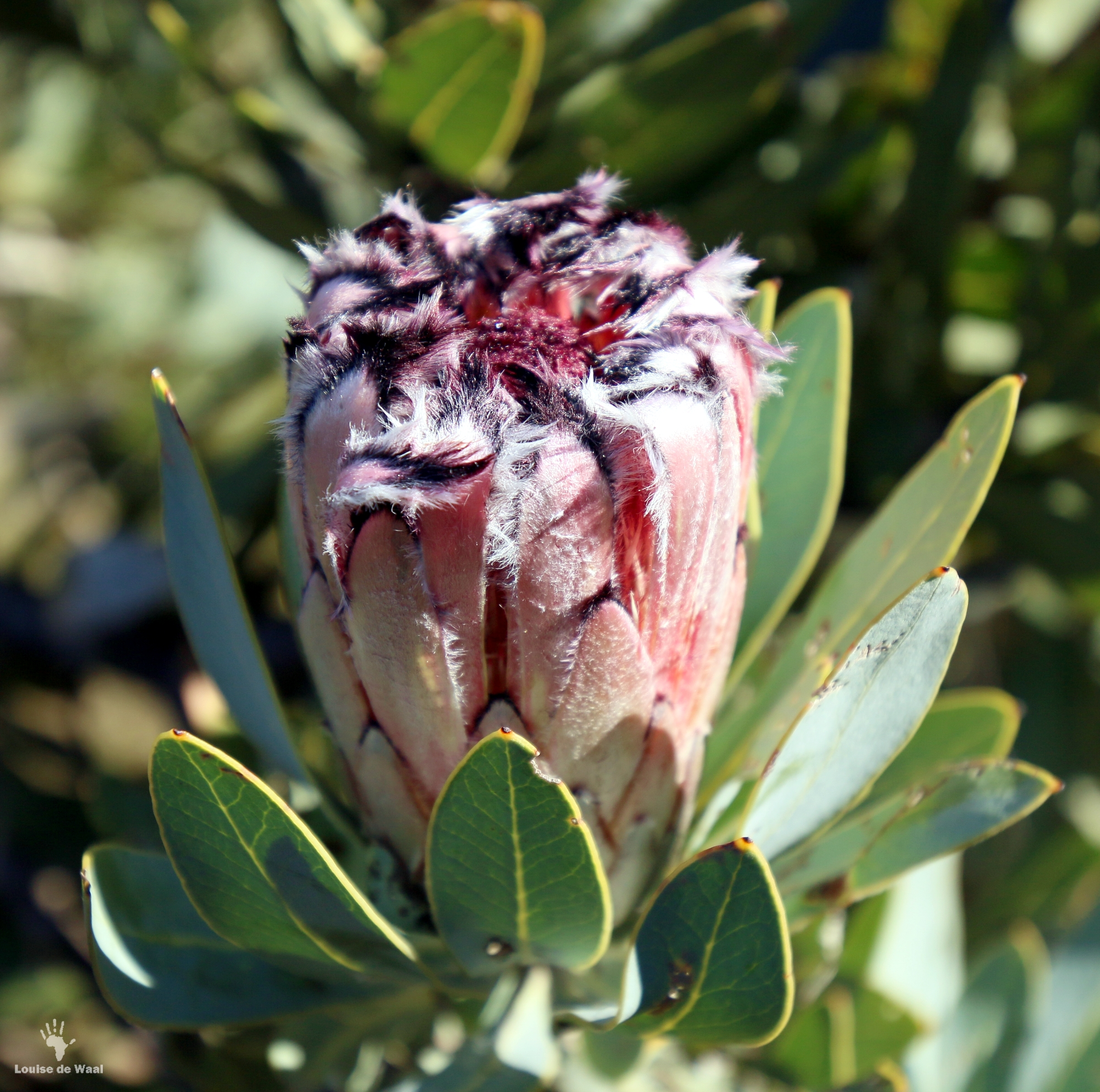 Proteas, Fynbos indicator species, Bastiaanskloof Reserve, Wellington.