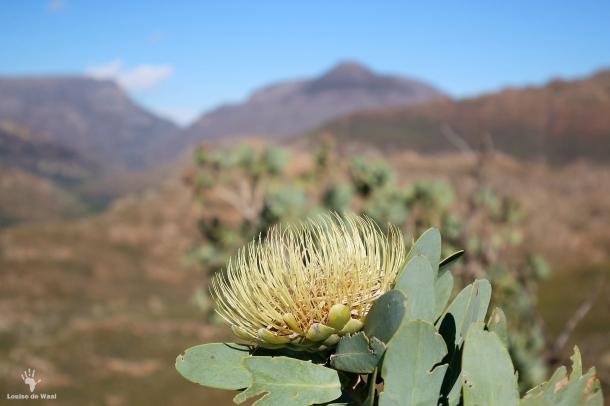 Protea Nitida, Bastiaanskloof Reserve, Bainskloof Pass.