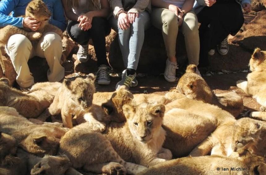 Lion petting