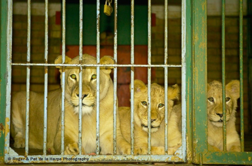 Lions bred in captivity in South Africa
