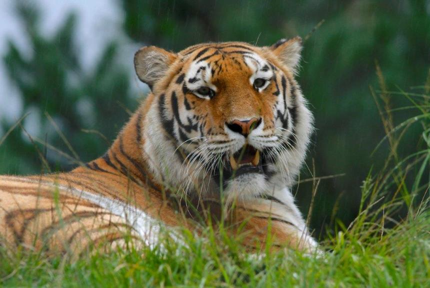 Tiger in forever home at Jukani, The Crags South Africa