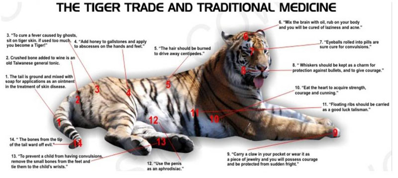 Use of tiger parts in traditional Chinese medicine