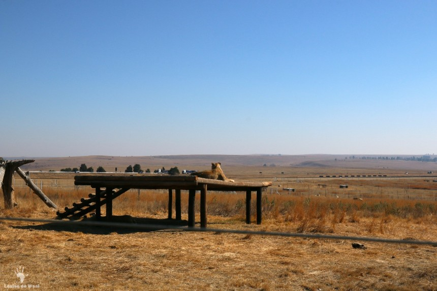 Lion enclosure at Thanda Tau