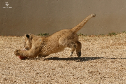 Thanda Tau 2 months old tawny lion cub