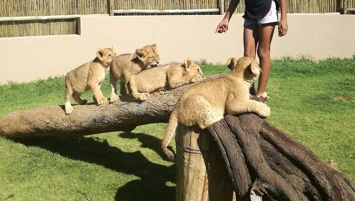 Where are Thanda Tau 4 tawny lion cubs seen in petting enclosure in Jan 2017
