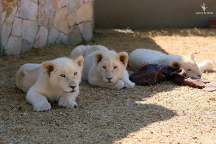 Thanda Tau 5 months old white lion cubs
