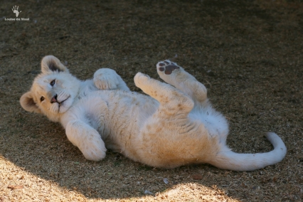 Thanda Tau 6 month old white lion cub