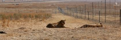 Thanda Tau adult lion enclosures