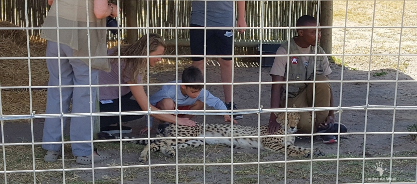 Adult cheetah ambassador at Cheetah Outreach