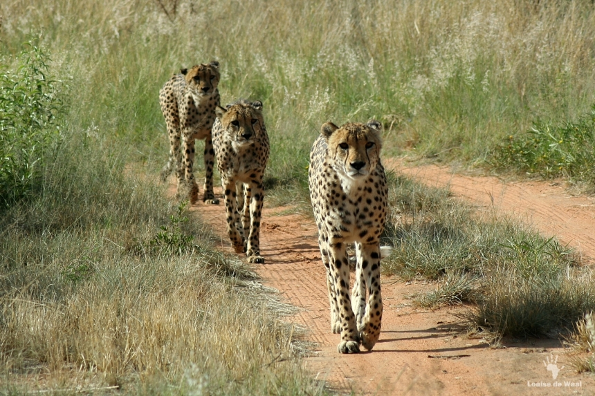 Cheetah coalition AfriCat Namibia