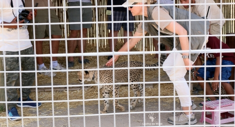 Cheetah cub petting at Cheetah Outreach