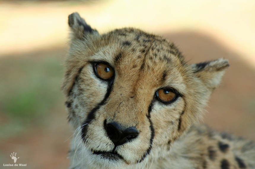 Captive Bred Cheetahs – an epidemic in South Africa? | Green
