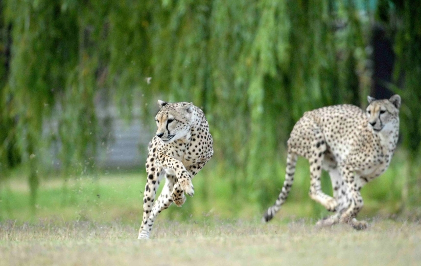 Cheetahs running free at Cheetah Outreach