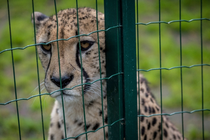 Captive cheetah