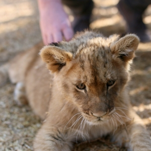 Lion cub petting at Thanda Tau