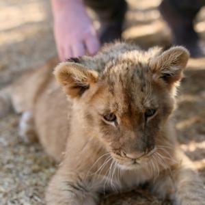 Lion cub petting at Thanda Tau