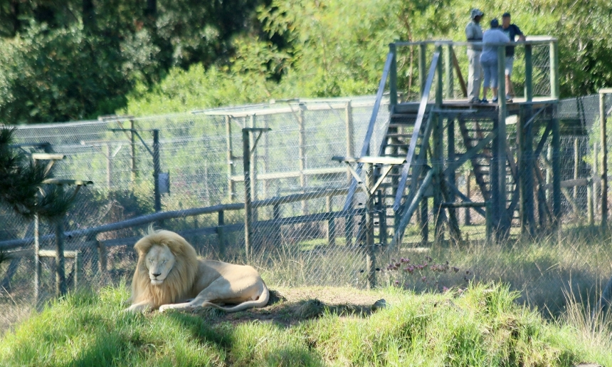 Viewing platforms extending above fencing of lion enclosure