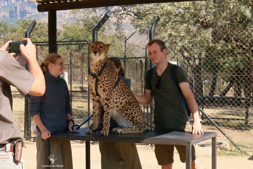 Moholoholo cheetah petting
