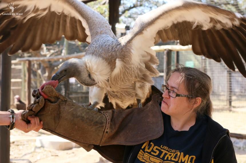 Moholoholo vulture feeding