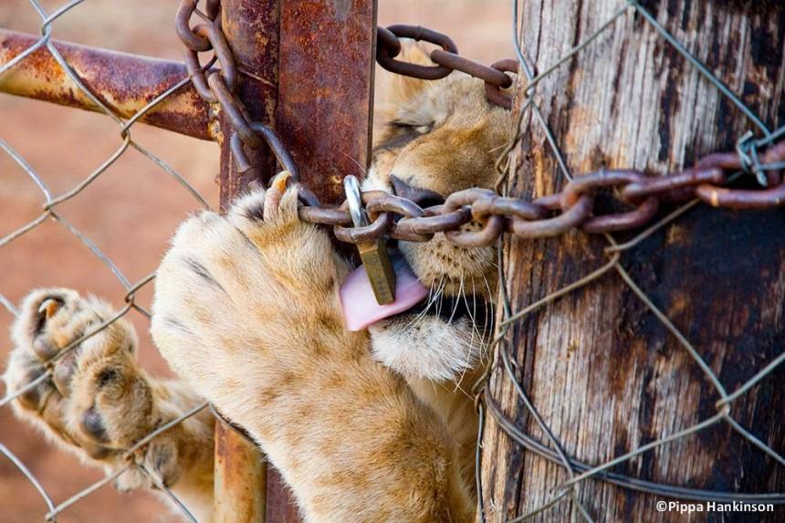 Adult lion (©Pippa Hankinson)