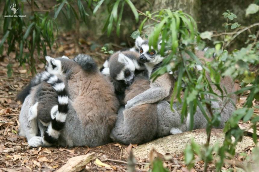 Ring-tail lemur huddle