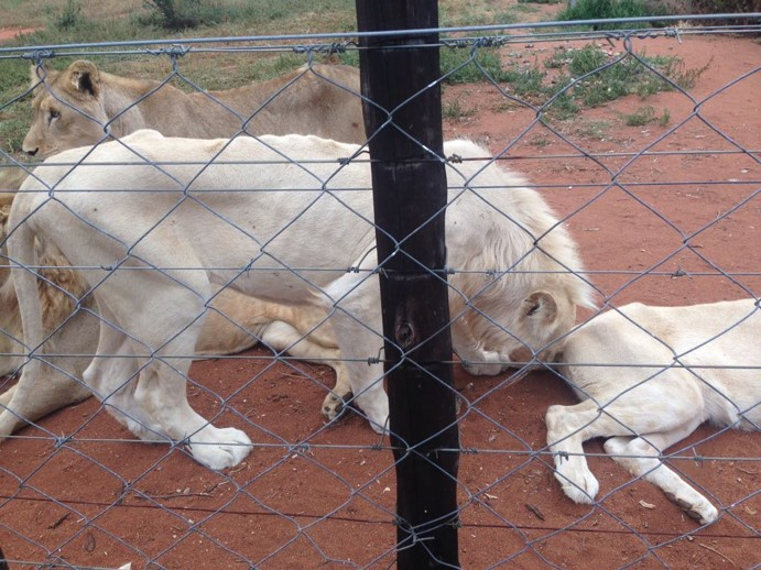 Emaciated lions at Slippers Farm taken by NSPCA