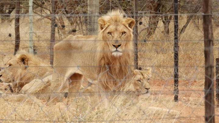 Emaciated lions at Slippers Farm taken by member of public