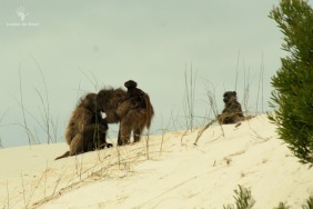 De Hoop Baboons playing in dunes