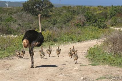 De Hoop Ostrich with babies