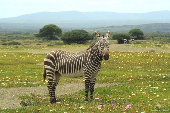 De Hoop Mountain zebra