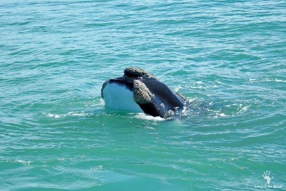De Hoop whale sky hopping