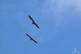 De Hoop Cape Vultures 4