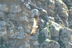 De Hoop Cape Vultures 3