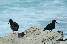 De Hoop Black oyster catchers